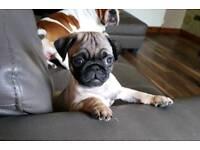 Pedigree Pug Puppies (ikc registered)