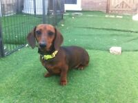 Miniature smooth hair Dachshund