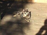 Lost Tortoishell cat
