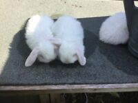 Beautiful pure bred white mini lops baby rabbits with blue eyes male and females ready now from £30