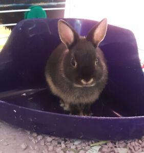 3 month old Drawf Bunny