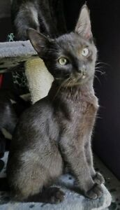 """Baby Male Cat - Domestic Short Hair-Siamese: """"Goose"""""""