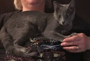 Russian Blue Mix Female Kitty