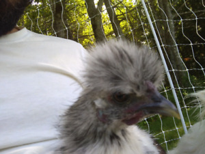 Pet silkie rooster