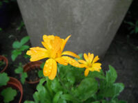 Plants for sale-A Calendula plant in a 16 cm pot
