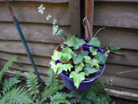 Plants for sale-Two small(9 cm) pots of English ivy plants
