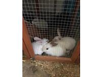 Baby rabbit for sale 12 weeks old