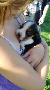 One little snuggle pup. Reg'd purebred female BEAGLE puppy