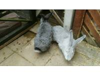 Giant continental rabbits, bonded pair