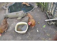 Welsummer hens
