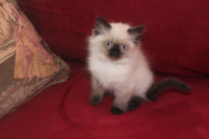 Purebred Himalayan kitten for Sale