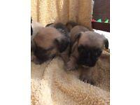 Pug cross Norfolk terrier puppies