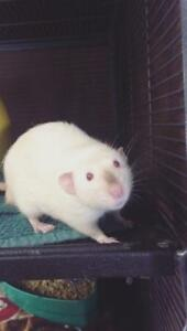 "Young Male Small & Furry - Rat: ""Mortimer*watch My Video*"""
