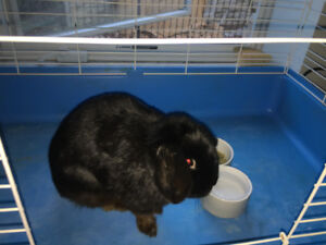 Dwarf Lop Rabbit for Rehoming