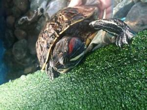 "Adult Female Scales, Fins & Other - Red-Eared Slider: ""Jojo"""