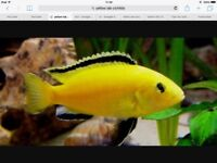 Malawi yellow lab fry for sale