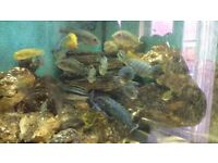 Approx 40-50 Malawi Cichlids for sale (will sell individually)