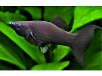 Purebred black lyre tail molly fry