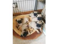 Kc reg pug puppies ready this week
