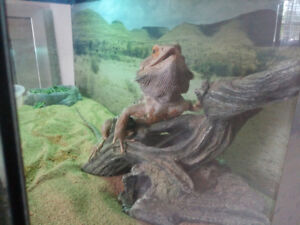 Moving - Re-homing Adult Bearded Dragon