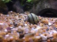 Tropical freshwater aquarium snail