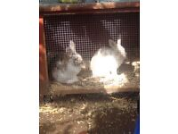 X2 baby boy rabbits and cage