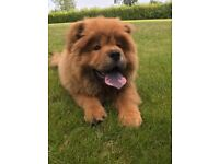 16 Week Chow Chow male puppy for sale in London