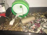 Baby White Mice