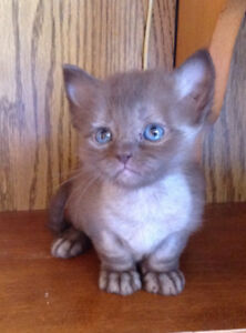 Most unusual chocolate kitten male ragdoll cross