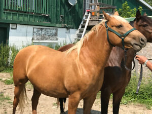 14.5hh Palomino large pony mare – 5 years old