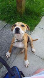 Bitch Staffy cross puppy 20week old