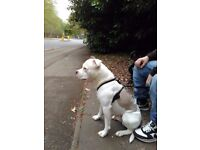White and staffie for sale