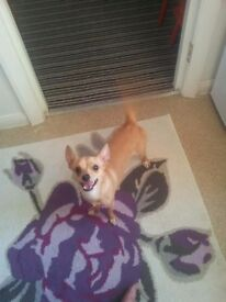 Chihuahua for sale - puppy, full vaccination and chip. Very smart dog from a well cared home.