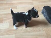 2 boy chihuahuas for sale