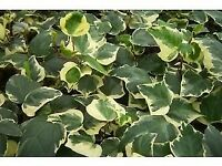 IVY PLANT Large Leaves Cream Edges