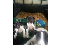 Parsons Jack Russell puppies