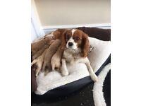 Adorable toy cavapoo puppies