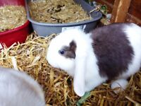Mini Lop looking for home