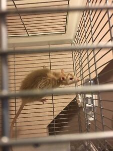 Rat and Cage