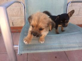 Beautful puppys for sale