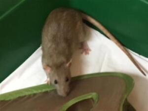 """Young Female Small & Furry - Rat: """"Chloe"""""""