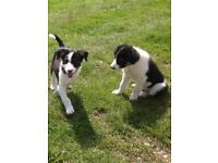 Collie pups boarder collie