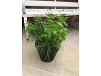 Large Herb Garden (Mint, Garlic Chives, Rosemary and Basil) Collect from Fulham