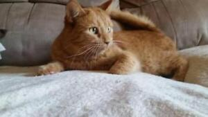 "Adult Male Cat - Tabby (Orange): ""Fred"""