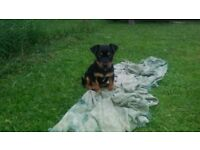 Jack Russell Puppies (Black and Tan) - 1 MALE LEFT