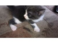 Grey and white male kitten