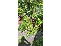 Dogwood Cornus sanguinea tree for free