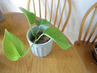 Indoor plant-Pothos (Devil's Ivy) growing in water in 10 cm ceramic pot