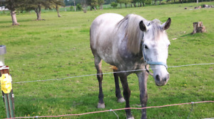 9 year old Grey mare for sale
