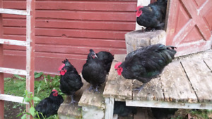 Purebred young Roosters
